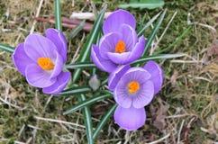 Крокус цветет весна 3 групп Стоковое Фото