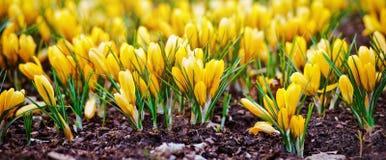 крокус цветет желтый цвет Стоковые Фотографии RF