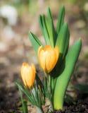 крокус цветет желтый цвет Стоковое фото RF