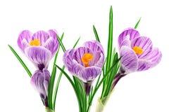 Крокус цветет крупный план изолированный на белизне Стоковое Изображение
