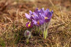 крокус цветет пурпуровая весна стоковое изображение rf