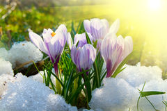 крокус цветет пурпур стоковое фото