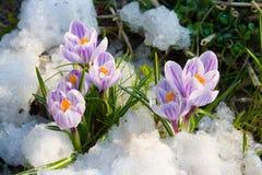 крокус цветет пурпур Стоковая Фотография
