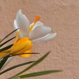 крокус цветет солнечность весеннего времени стоковое фото rf