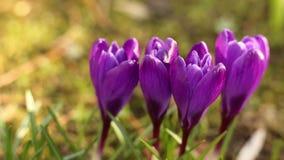 крокус цветет солнечность весеннего времени сток-видео