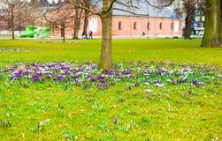 крокус цветет солнечность весеннего времени Стоковая Фотография