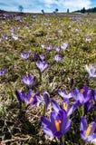 крокус цветет солнечность весеннего времени Стоковые Фото
