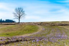 крокус цветет солнечность весеннего времени Стоковые Фотографии RF