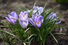 крокус цветет солнечность весеннего времени Стоковые Изображения RF