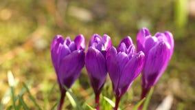 крокус цветет фиолет сток-видео