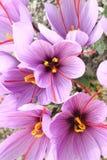 крокус цветет шафран стоковое фото rf
