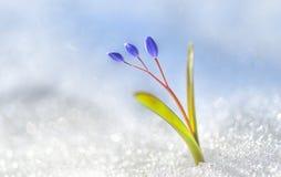 Крокус цветка весны стоковая фотография rf
