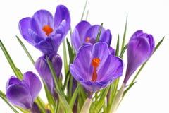 Крокус, цветки на белой предпосылке Стоковые Изображения RF