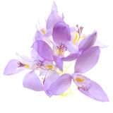 крокус banaticus Стоковые Фото