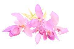 крокус banaticus Стоковое Изображение RF