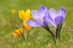 Крокус l крокуса Шафран весной Стоковое Изображение RF