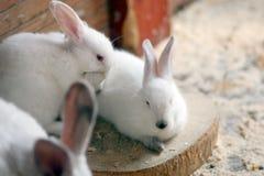 кролики белые стоковые изображения rf