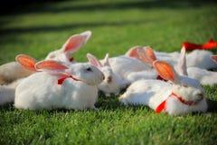 кролики белые Стоковая Фотография RF