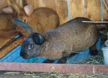 Кролики Брайна в hutch стоковое фото rf