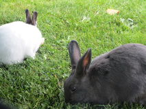 Кролики зайчика есть траву совместно Стоковое Изображение RF