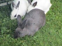 Кролики зайчика есть траву совместно Стоковая Фотография RF