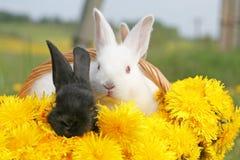 кролики одуванчика стоковое фото