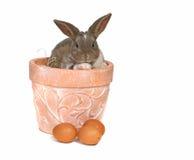 кролик бака любимчика прелестных яичек серый Стоковая Фотография