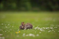 Кролик в поле Стоковые Изображения RF