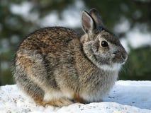 Кролик зайцев Snowshoe - Lepus americanus - на снеге в зиме стоковое фото