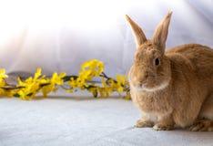 Кролик зайчика представляет около желтых цветков forsythia против светлой предпосылки Стоковое Фото