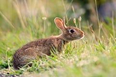кролик зайчика Стоковое Изображение RF