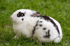 кролик карлика Стоковое фото RF