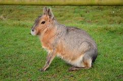Кролик любимчика жизни животного зоопарка gnawer грызуна Mara одичалый стоковое изображение