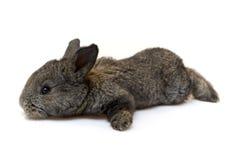 кролик малый Стоковое Изображение RF