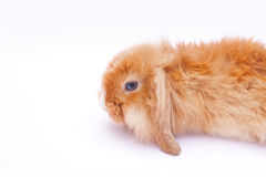 Кролик на белизне Стоковые Изображения RF