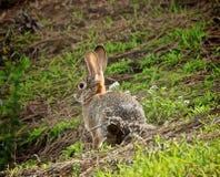 Кролик одичалый Стоковое Фото