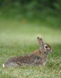 кролик одичалый Стоковые Изображения RF