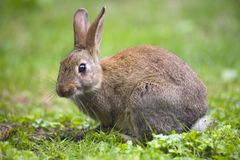 кролик одичалый Стоковое фото RF