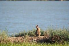 Кролик сидя смотрящ озеро, прочитал стоковые изображения rf