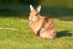 кролик травы малый Стоковые Изображения RF