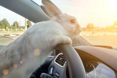 Кролик управляет автомобилем, он на сидении водителя за рулем Водитель зайцев Белые езды зайчика пасхи для того чтобы дать подарк стоковая фотография rf
