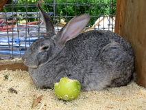 кролик яблока Стоковое фото RF