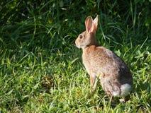 кролик cottontail восточный Стоковые Фотографии RF