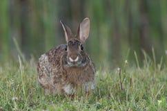 кролик cottontail восточный Стоковое Изображение RF