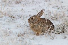 Кролик Cottontail в снеге зимы Стоковые Фото