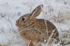 Кролик Cottontail в снеге Стоковые Фото