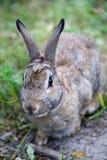 Кролик Cottontail горы в Альберте, Канаде Стоковые Фото