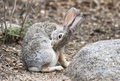 Кролик Cottontail пустыни, озеро Уотсон, Prescott Аризона США стоковое изображение rf