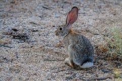 Кролик Cottontail пустыни Стоковое Изображение RF