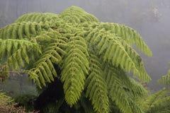 Крона австралийского папоротника дерева в тумане Стоковые Изображения RF